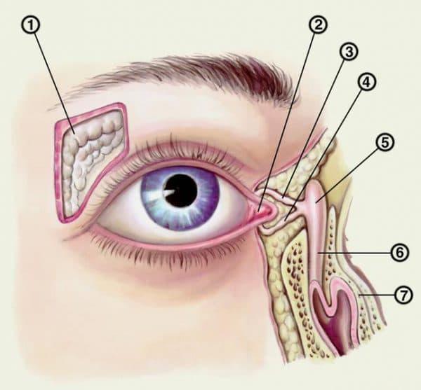 Топография слезных органов: 1 — слезная железа; 2 — слезное мясцо; 3, 4 — слезные канальцы; 5 — слезный мешок; 6 — носослезный проток; 7 — нижняя носовая раковина.